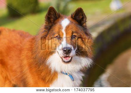 Portrait Of A Beautiful Elo Dog
