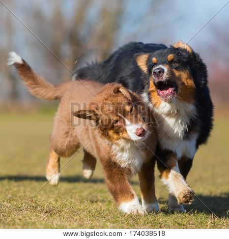 Australian Shepherds Scuffle With Each Other
