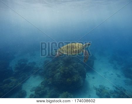 Sea turtle swimming in blue water with sunlight. Deep blue sea and animal. Rare marine species of tropical seawater. Exotic oceanic animal. Green tortoise above deep seashore. Diving with sea turtle