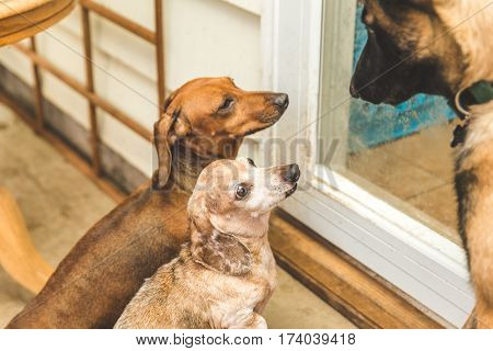Dauchsund Dogs Playing