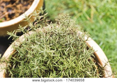 Rosemary herbs growing outside in a planter.