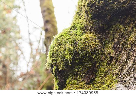 Mossy tree in lush forest park. Winter day in Vancouver, Washington, USA.