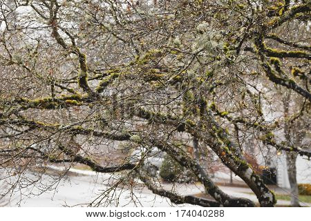Japanese Maple Tree with green moss in wet weather.