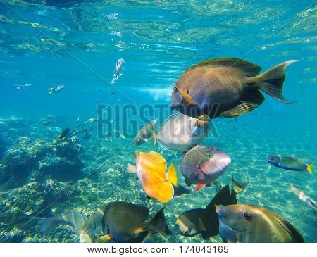 Underwater landscape with diverse coral fishes. Surgeonfish parrotfish wrasse fish dascillus. Colorful undersea life on coral reef. Tropical fishes closeup image in wild nature. Exotic seaside life