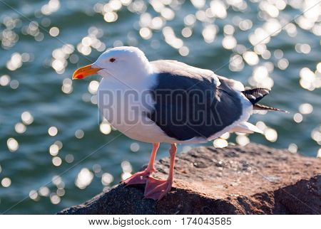 Seagull on Morro Bay breakwater rock on the California Central Coast US
