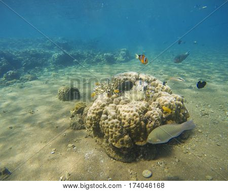 Underwater landscape. Tropical fish clown near coral reef and actinia. Clownfish in actinia. Underwater photo with coral reef fishes. White sand sea bottom. Diving or snorkeling in tropics