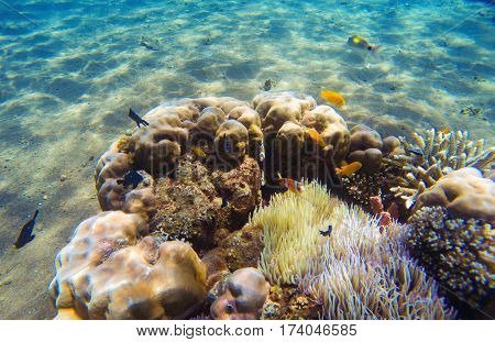 Underwater landscape. Tropical fish clown near coral reef and actinia. Clownfish in actinia. Underwater photo with coral reef fishes. Sea sand bottom and small coral. White sand sea bottom.