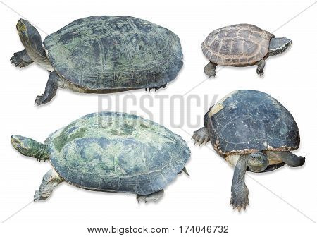 turtle collection set isolated on white background Clipping path