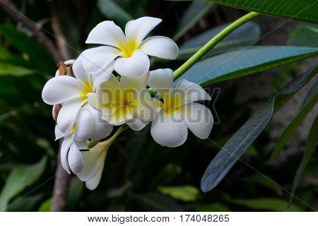 White plumeria on the plumeria tree. frangipani tropical flowers.White plumeria.Plumeria flowers.