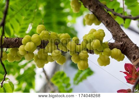 Star gooseberry fruit. Phyllanthus acidusbunch gooseberry in garden background