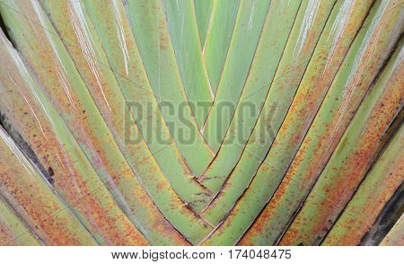 Pattern of banana leaf and stalk in fan shape