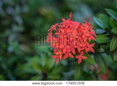 Red Rubiaceae flowers Ixora flower Red flower spike in a green garden background
