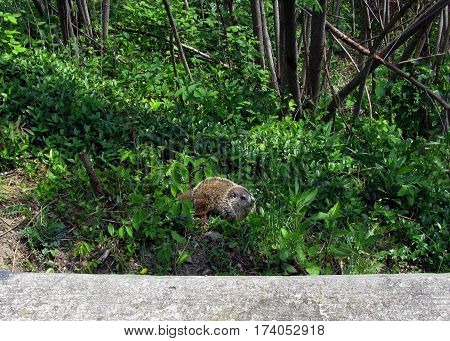 ground hog on the side of a hill in the wild