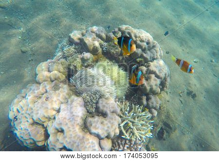 Tropical fish clown near coral reef and actinia. Clownfish in actinia. Underwater photo with coral reef fishes. Sea sand bottom and small coral. White sand sea bottom. Diving or snorkeling in tropics