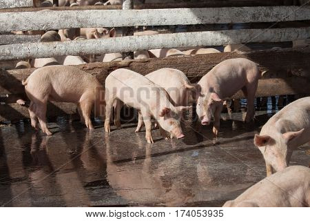 A group of young domestic pigs at a farm in Cuba