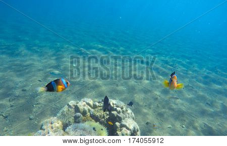 Underwater landscape with clown fish. Clownfish undersea photo. Clean blue sea lagoon with coral reef. Oceanic ecosystem. Underwater photography for wallpaper. Blue seawater with sunlight