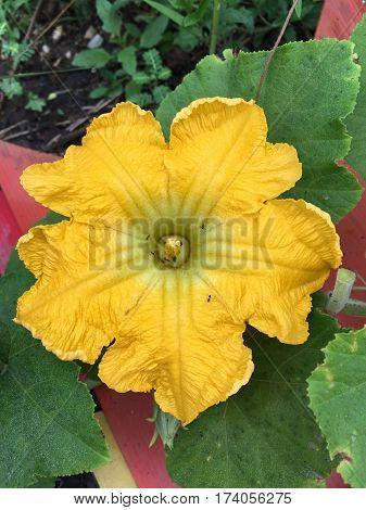 close up yellow pumpkin flower in nature garden