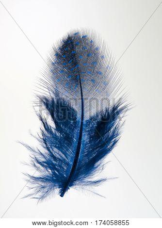 Single blue feather isolated on white background