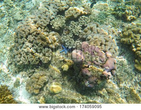 Underwater landscape with blue starfish in grey corals. Star fish on sea bottom. Sea animals in wild nature of tropical lagoon. Snorkeling in exotic island seashore. Seabottom view with diverse corals