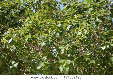 fresh green ficus religiosa leaves in garden