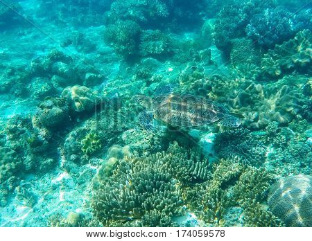 Sea turtle mimicry on seabottom. Green turtle in sea water. Ecosystem of tropical seashore. Snorkeling with turtle image. Underwater landscape with sea animal. Green sea tortoise in blue water