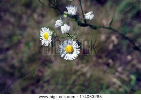 Oxeye daisies (Leucanthemum vulgare) bloom in Joliet, Illinois during June.