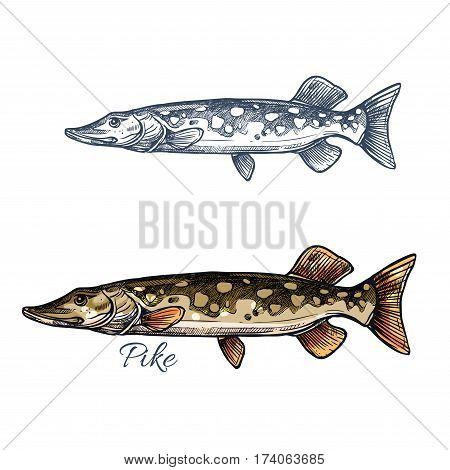 Pike fish isolated sketch. Northern pickerel, freshwater predator with long head and light spots on flanks. Fishing sport, fish market, food theme design