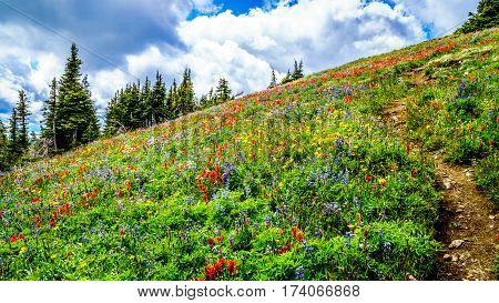 Hiking through Alpine Meadows filled with Wildflowers to Tod Mountain in the Shuswap Highlands of central British Columbia, Canada