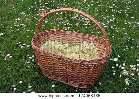 wicker basket on grass in garden with medical elder flowers