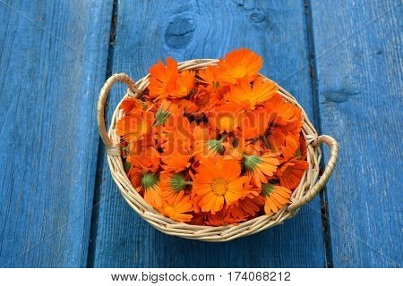 beautiful fresh medical marigold calendula flowers in basket on blue wooden old garden table