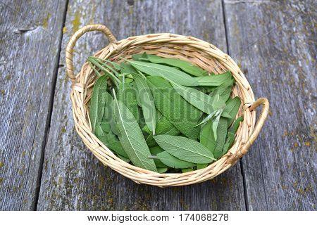 Fresh sage Salvia officinalis medical leaves in wicker basket on old wooden garden table