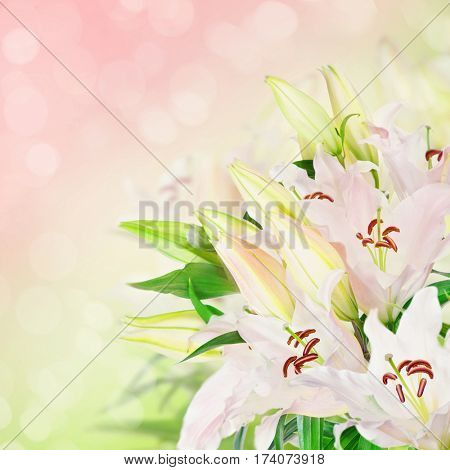 White lily flowers on a pink background