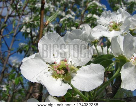 Blooming branch of fruit pear tree in spring under sunlights. Pear blossom in full bloom macro and blue sky. One flower close up