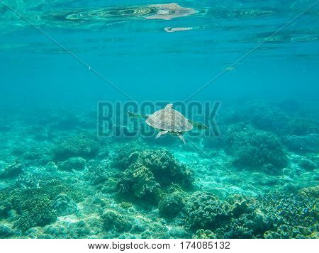 Sea turtle diving above seabottom. Green turtle in sea water. Ecosystem of tropical seashore. Snorkeling with turtle image. Underwater landscape with sea animal. Green sea tortoise in blue water