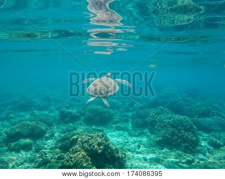 Sea turtle in water of tropic sanctuary. Green turtle in sea water. Ecosystem of tropical seashore. Snorkeling with turtle image. Underwater landscape with sea animal. Green sea tortoise in blue water