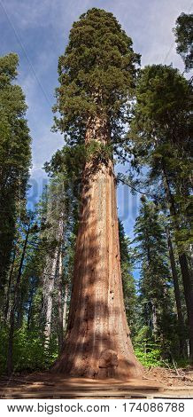 Giant Sequoia Tree in Sequoia National Park in the southern Sierra Nevada east of Visalia California United States.