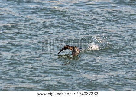Pygmy Cormorant, Phalacrocorax pygmeus, staring flying from the Danube river, Belgrade, Serbia
