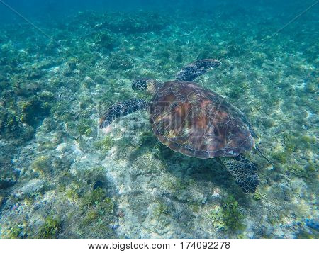 Sea turtle swimming in tropic lagoon. Green turtle in sea water. Ecosystem of tropical seashore. Snorkeling with turtle image. Underwater landscape with sea animal. Green sea tortoise in blue water