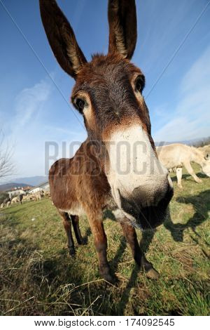 Funny Brown Donkey With Long Ears While Grazing With Sheep From
