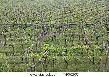 Largest Vineyard Bunches Of Grapes In Growth In The Fine Wine Pr