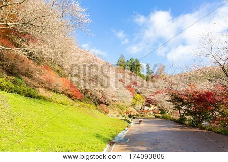 Nagoya, Obara. Autumn Landscape with sakura blossom. Shikizakura kind of sakura blooms once in spring, and again in autumn.
