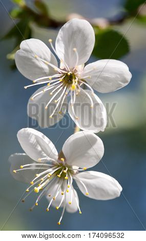 cherry tree blooming blossom white flower closeup on blurry outdoor background