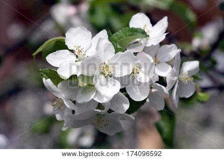 apple tree blooming blossom bunch of flowers closeup on outdoor background