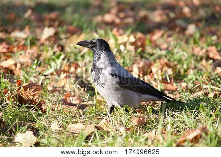 crow bird closup walking on fall yellow leaves and grass background