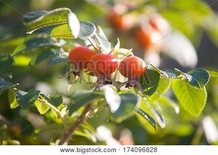 big orange rosehips closep on green leaves background
