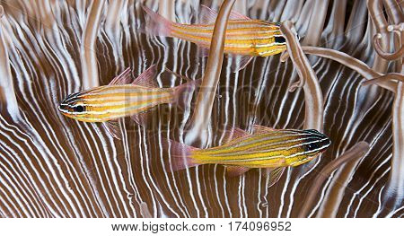 Blue Striped Cardinalfish, Apogon cyanosoma