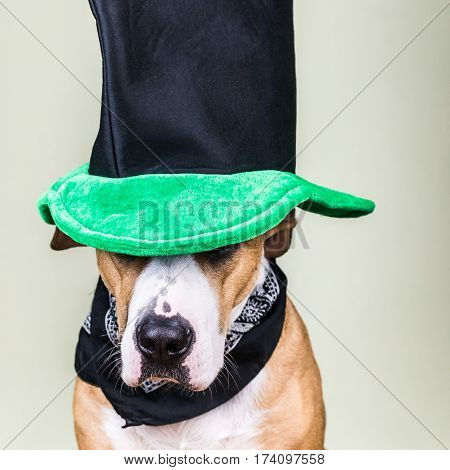 Dog portrait in St. Patrick's day hat. Staffordshire terrier puppy dressed up in green hat and bandana posing in white background