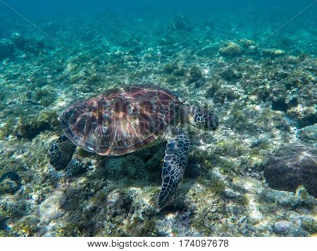 Sea turtle eating seaweeds. Green turtle in sea water. Ecosystem of tropical seashore. Snorkeling with turtle image. Underwater landscape with sea animal. Green sea tortoise in blue water