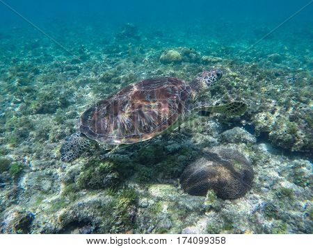 Sea turtle in coral reef and seaweeds. Green turtle in sea water. Ecosystem of tropical seashore. Snorkeling with turtle image. Underwater landscape with sea animal. Green sea tortoise in blue water