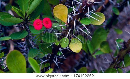 Red Euphorbia milii flower, Thailand, Koh Tao